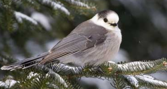 The Gray Jay